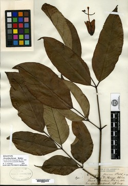 Image of Oroxylum indicum