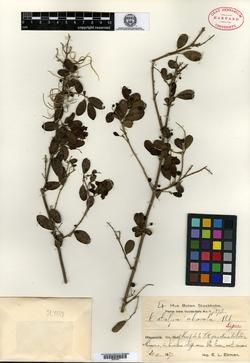Image of Catalpa macrocarpa