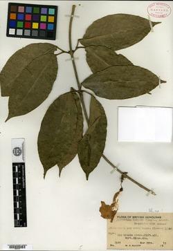 Image of Bignonia binata