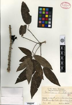 Image of Spirotecoma rubriflora