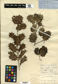Synapsis ilicifolia image