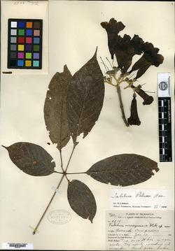 Image of Handroanthus impetiginosum