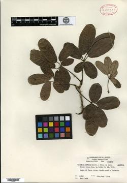Image of Tabebuia bahamensis
