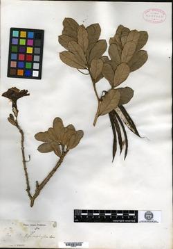 Image of Tabebuia lepidophylla