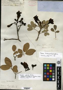 Image of Tabebuia calcicola