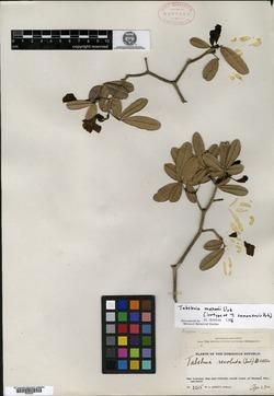 Image of Tabebuia maxonii