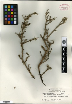 Image of Tabebuia myrtifolia