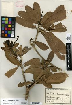 Image of Tabebuia schumanniana