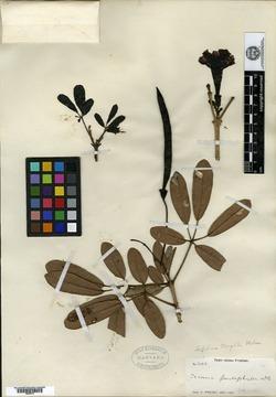 Image of Tabebuia moaensis