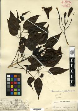 Image of Ekmanianthe actinophylla