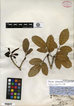 Image of Tabebuia bibracteolata