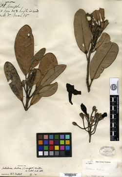 Image of Tabebuia dubia