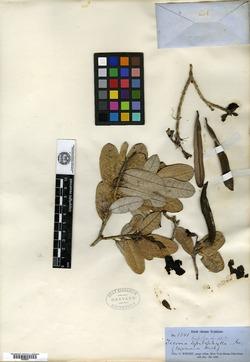 Image of Tabebuia hypoleuca