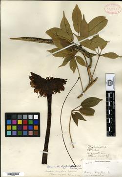Image of Tecoma longiflora