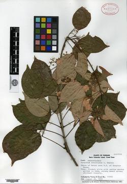 Image of Tynanthus croatianus