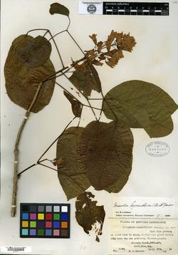 Image of Bignonia hyacinthina