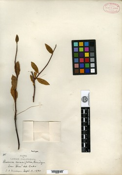 Image of Bursera cerasifolia