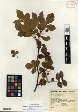 Image of Bursera citronella