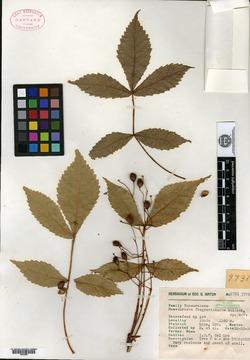 Image of Bursera fragrantissima