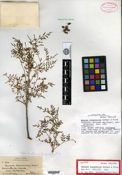 Bursera stenophylla image