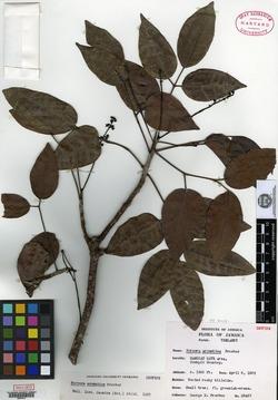 Image of Bursera aromatica