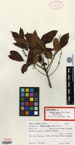Image of Bursera brunea
