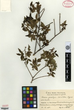 Image of Bursera gracilipes