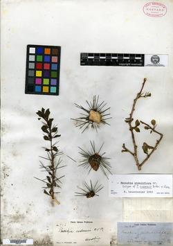 Image of Pereskia zinniiflora