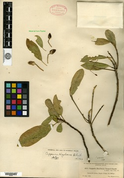 Image of Capparis heydeana