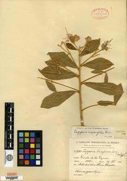 Image of Capparis asperifolia