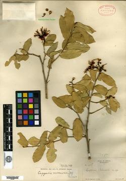 Image of Capparis palmeri