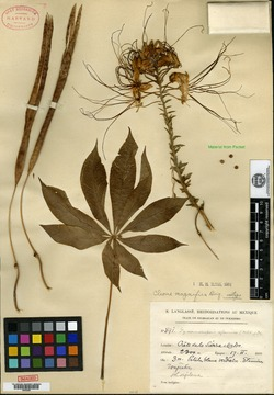 Image of Cleome magnifica