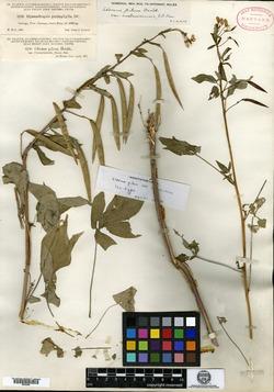 Image of Andinocleome pilosa