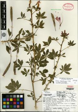 Image of Cleome chapalaensis