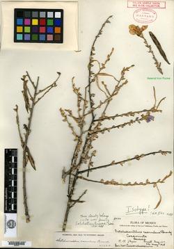 Image of Setchellanthus caeruleus