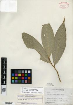 Quadrella filipes image