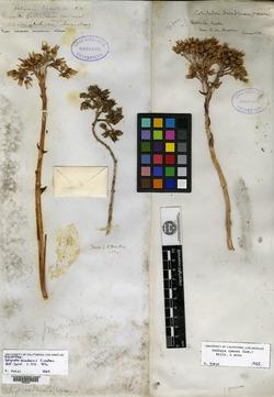 Image of Cotyledon nevadensis