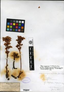 Image of Cotyledon oregonensis