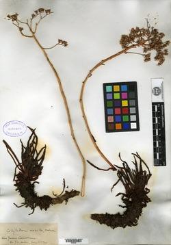 Image of Cotyledon viscida
