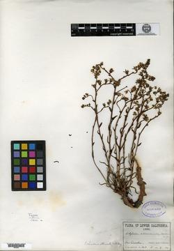 Image of Cotyledon attenuata
