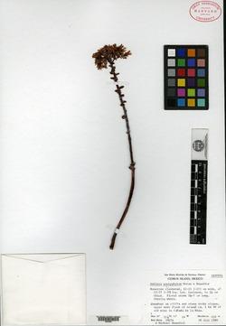 Image of Dudleya pachyphytum