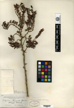 Image of Dudleya rigidiflora