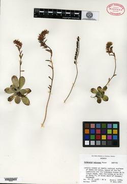 Image of Echeveria calycosa