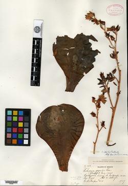 Image of Echeveria gigantea