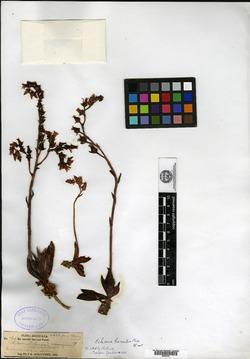 Image of Echeveria humilis