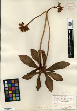 Echeveria lozanii image