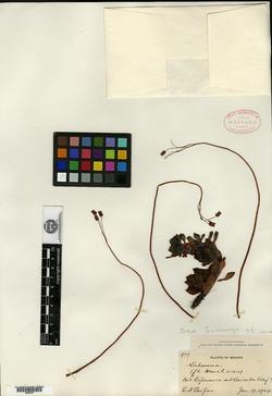 Image of Echeveria amoena