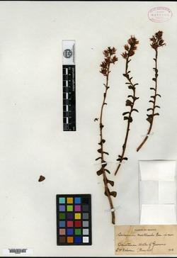 Image of Echeveria multicaulis