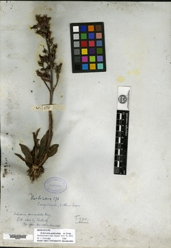 Image of Echeveria paniculata