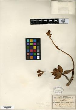 Image of Echeveria pulvinata
